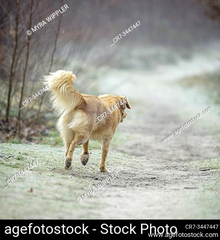 Dog wandering around and playing at a heather nature reserve in Noord-Brabant, The Netherlands