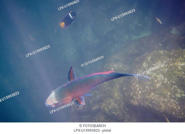 Parrotfish swimming underwater, Darwin Bay, Genovesa Island, Galapagos Islands, Ecuador