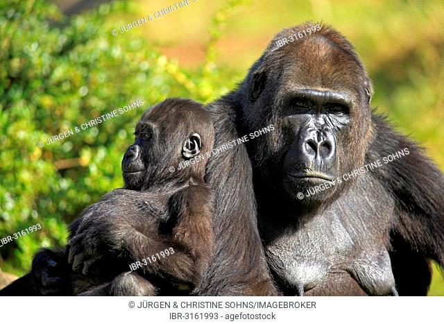 Western Lowland Gorilla (Gorilla gorilla gorilla), adult female with an infant, captive, Apenheul Primate Park, Apeldoorn, Gelderland, The Netherlands