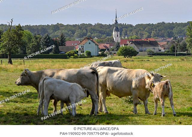 02 September 2019, Brandenburg, Hirschfeld: Cattle stand on a pasture on the outskirts of Hirschfeld in the Elbe-Elster district