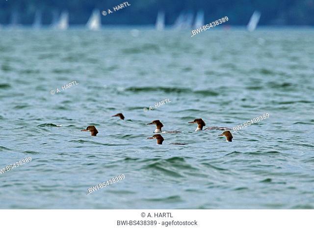 goosander (Mergus merganser), hunting flock in storm, Germany, Bavaria, Lake Chiemsee