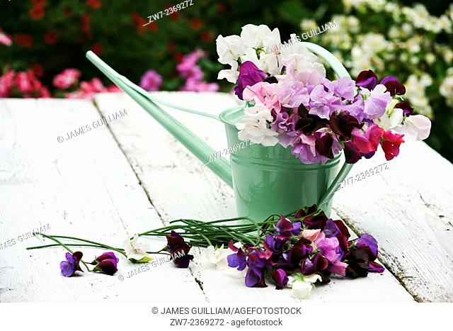 Sweet Peas Lathyrus Oderatus with metal watering can outdoors on rustic timber table