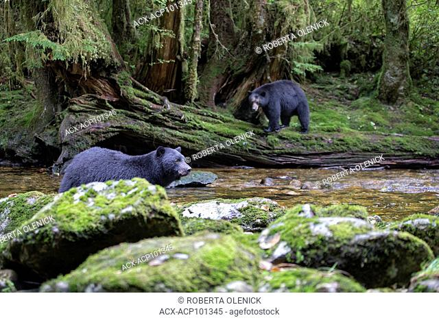 Black spirit bear (Ursus americanus kermodei), female (background) anxiously watching a male approach her and her off-camera cubs who she sent up a tree