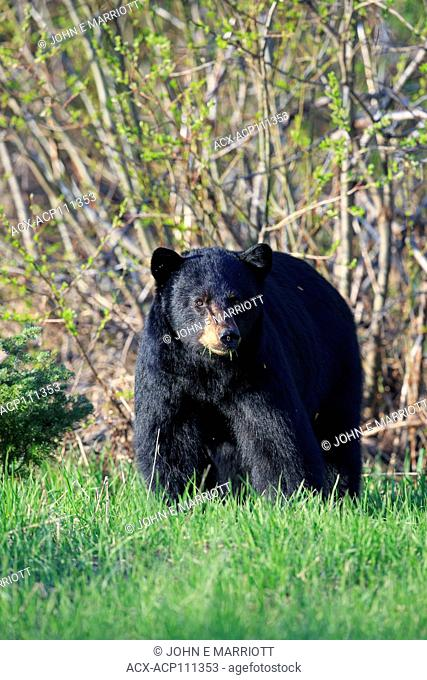 Black bear, ursus americanus, British Columbia, Canada