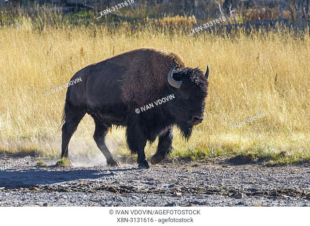 American bison, Bison bison, Yellowstone National Park, USA