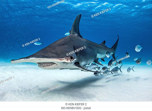 Great hammerhead shark in shoal of fish, Alice Town, Bimini, Bahamas