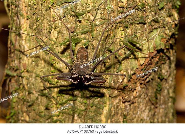 Whip Scorpion species, Rio Napo, Amazon Basin, Ecuador, Ecuador