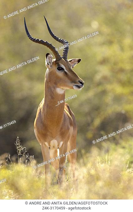 Impala (Aepyceros melampus) male standing in savanna during sunrise with backlight, Kruger National Park, South Africa