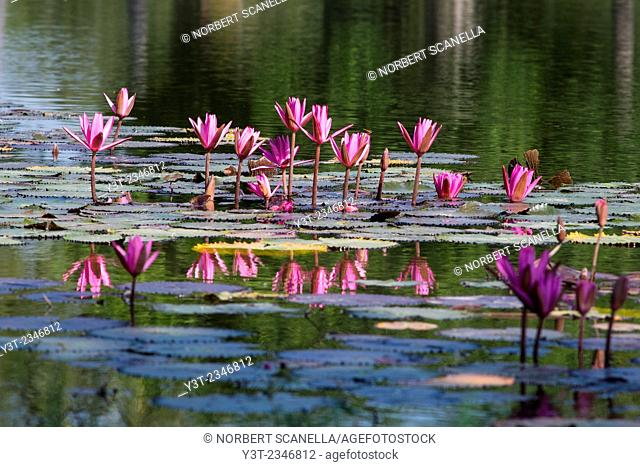 Asia. Thailand, old capital of Siam. Sukhothai archaeological Park, classified UNESCO World Heritage. Wat Mahatat. Lotus
