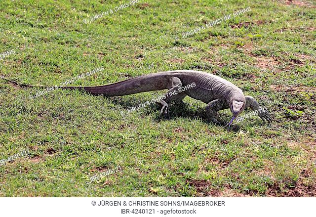 Bengal monitor or common Indian monitor (Varanus bengalensis), adult, foraging, flickering tongue, Udawalawe National Park, Sri Lanka