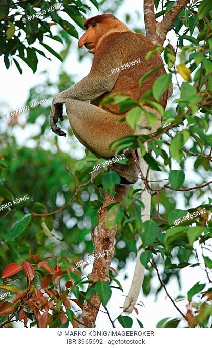 Proboscis Monkey (Nasalis larvatus), male, Tanjung Puting National Park, Central Kalimantan, Borneo, Indonesia