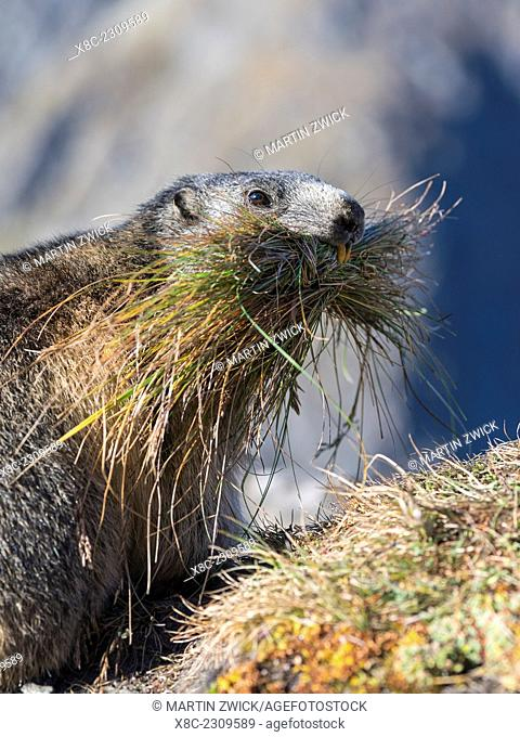 Alpine Marmot (Marmota marmota) in the NP Hohe Tauern near Mount Grossglockner. For hibernation the marmot is gathering gras and stems for bedding