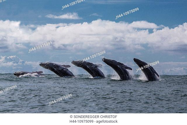 South America, Latin America, Colombia, sea, nature, animals, beasts, animal, beast, whale whales, picture composition, hump whale, jump, Pacific