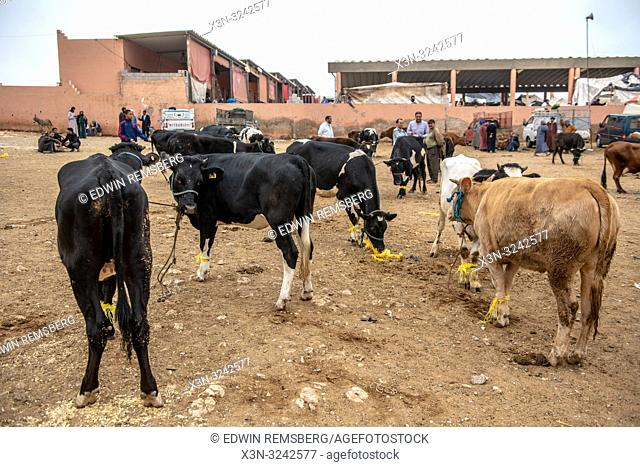 A group of cattle gathered for sale in Guelmim, Guelmim province, Morocco