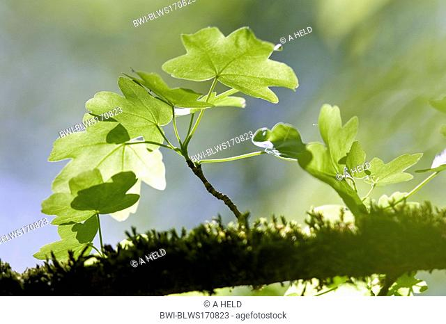 field maple, common maple Acer campestre, mossy twig with leaves, Germany, Baden-Wuerttemberg