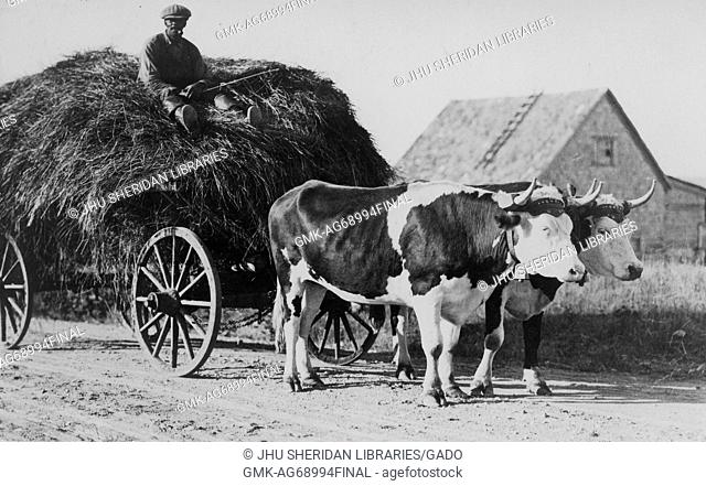Full length sitting portrait of mature African American male sitting on pile of hay in wagon driven by two cows, wearing dark shirt, dark pants and cap