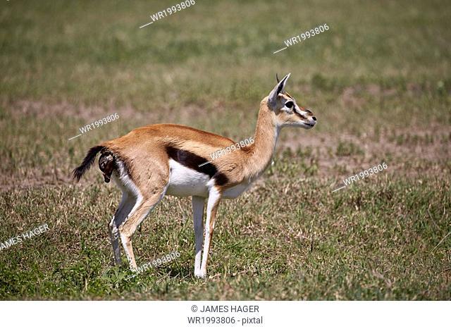 Thomson's gazelle (Gazella thomsonii) female giving birth, Ngorongoro Crater, Tanzania, East Africa, Africa