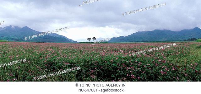 Astragalus Sinicus,Hadong-gun,Gyeongnam,Korea