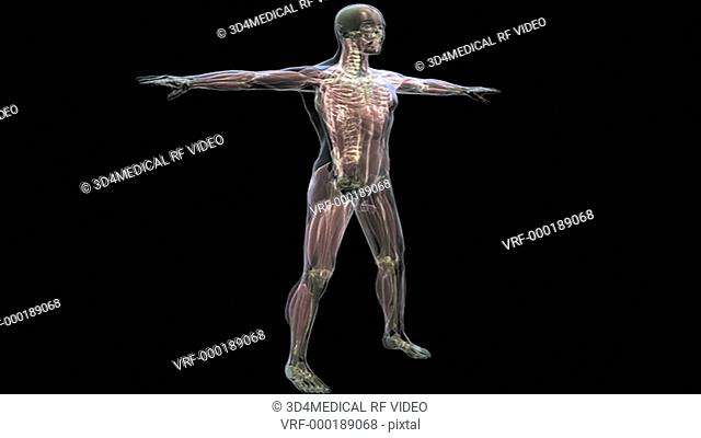 The male musculoskeletal system is shown rotating 360 degrees in a transparent male body