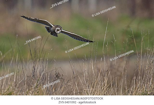 Short-eared Owl-Asio flammeus hunts. Winter. Uk