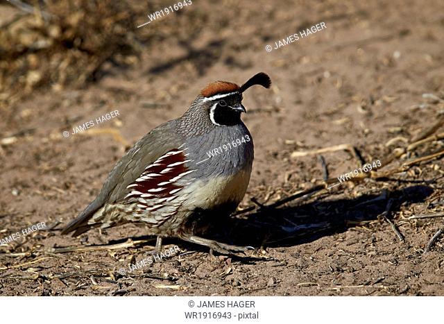 Gambel's quail (Callipepla gambelii), male, Bosque del Apache National Wildlife Refuge, New Mexico, United States of America, North America