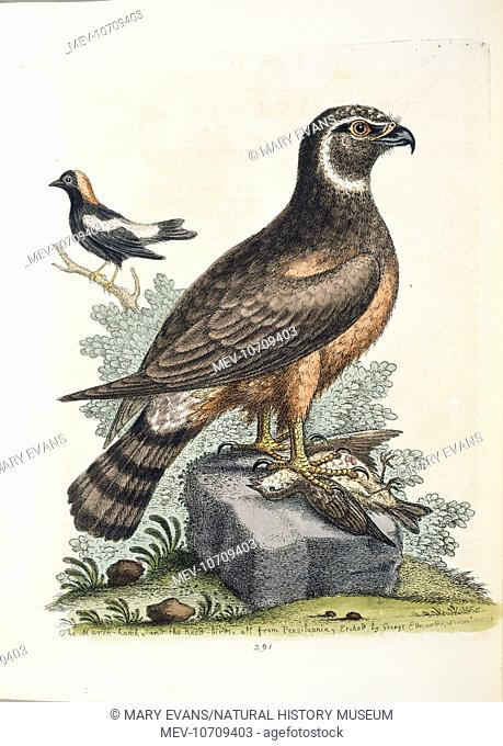 Hand coloured engraving, by George Edwards (1694- 1773), 1758. Paper size: 285 x 120 mm. Original artwork held by the Natural History Museum