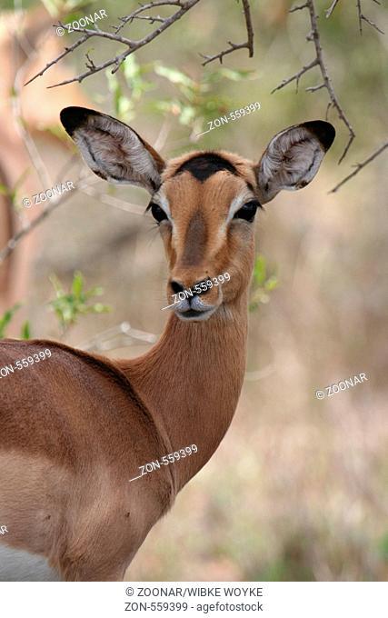 Impala, South Africa