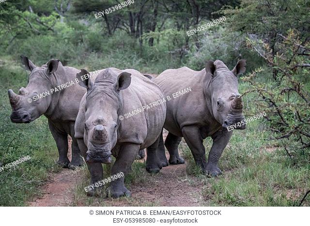Group of White rhinos standing in the middle of the road in South Africa