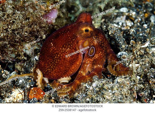 Mototi octopus, Lembeh Strait, Indonesia