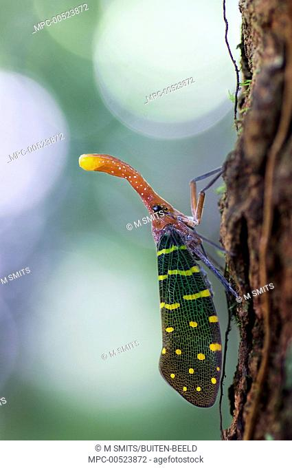 Blue-winged Lanternfly (Pyrops intricata), Sarawak, Borneo, Gunung Gading National Park, Malaysia
