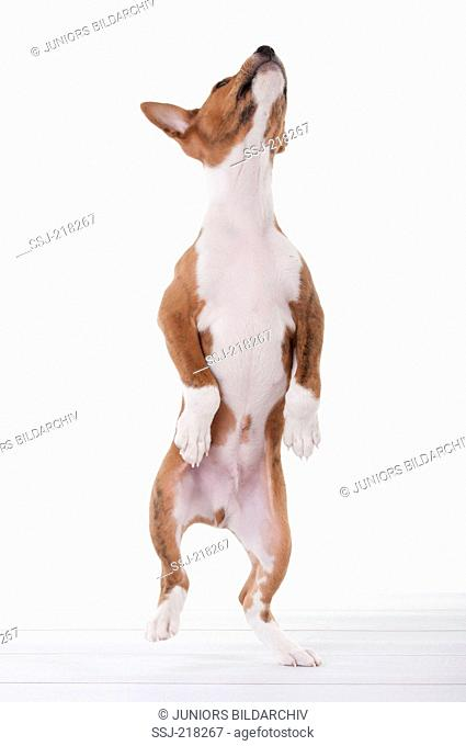 Basenji. Puppy (8 weeks old) standing upright on its hind legs. Studio picture against a white background. Germany