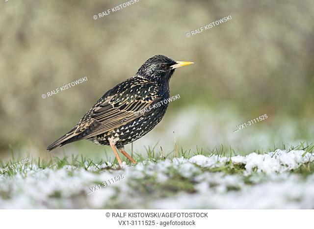 Common Starling / Star ( Sturnus vulgaris ) in breeding dress, on snow covered ground, late onset of winter, april weather