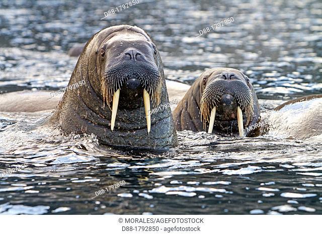 Norway, Svalbard , Walrus Odobenus rosmarus , in the water