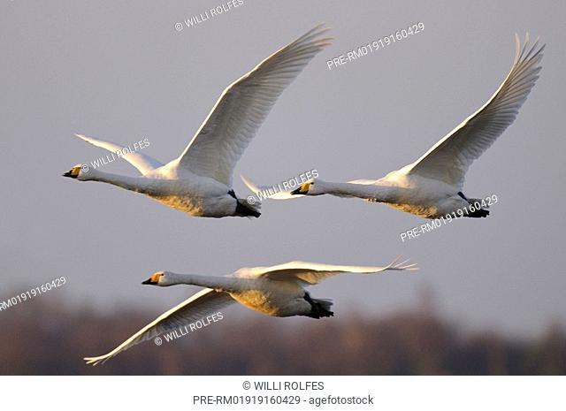 Whooper swans in flight, Cygnus cygnus, Goldenstedter Moor, Lower Saxony, Germany, Europe