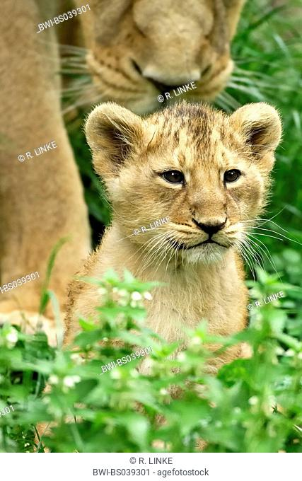 lion (Panthera leo), mother appoaching to the cub