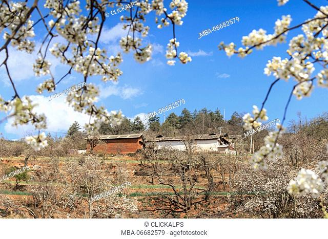 Pear Trees in full bloom near the village on Heqing, Yunnan in China