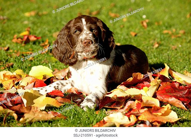 English Springer Spaniel. Puppy lying on autumn leaves. Germany