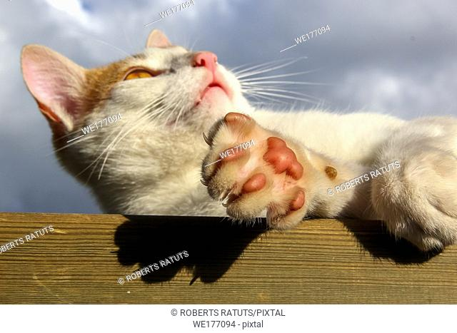 Cat paws closeup. Cat lying on the wooden floor. Lying cat on background of blue sky. Cat is small domesticated carnivorous mammal with soft fur