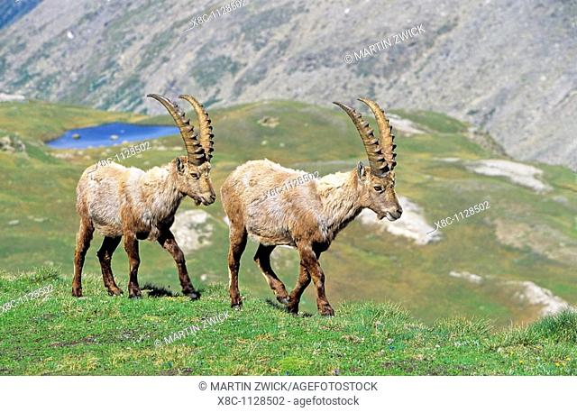 Alpine Ibex Capra ibex two bulls in spring  The long winter in the high mountains etiolated and weakened the animals  The changing of the coats gives them an...