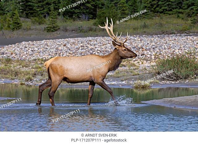 Elk / wapiti (Cervus canadensis) bull crossing river in summer, Jasper National Park, Alberta, Canada