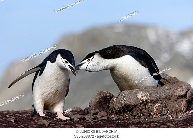 Chinstrap Penguin (Pygoscelis antarctica). Couple billing. Antarctic Peninsula. No exclusive sales !