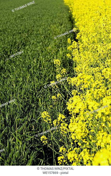 yellow rape flowers blooming. Horb am Neckar, Baden Württemberg, Germany