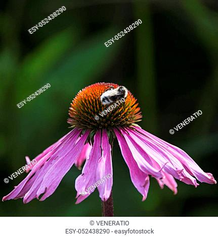 Bumble bee pollenating on cone flower in Summer