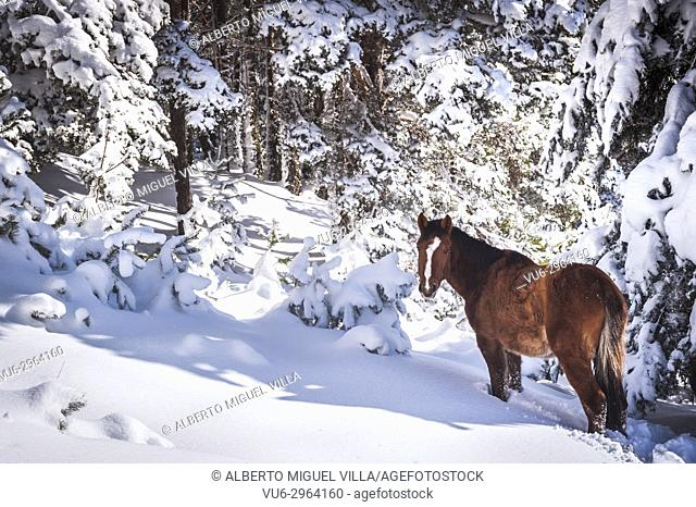 Horse walking through snow in the mountains surrounded by trees on a cold day. Madrid province, Spain
