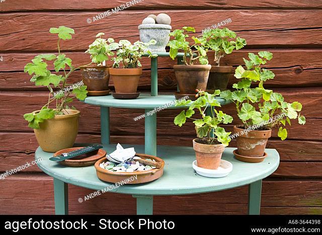 Geraniums on a flower table