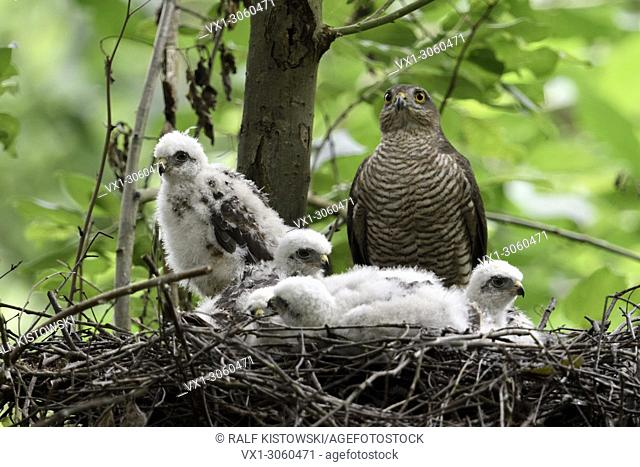 Sparrowhawk (Accipiter nisus), adult female with its grown-up chicks on their eyrie, high up in a deciduous tree, wildlife, Germany, Europe