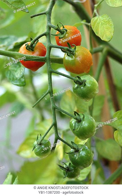 Sweet 100 hybrid variety of tomatoes in various stages of ripening