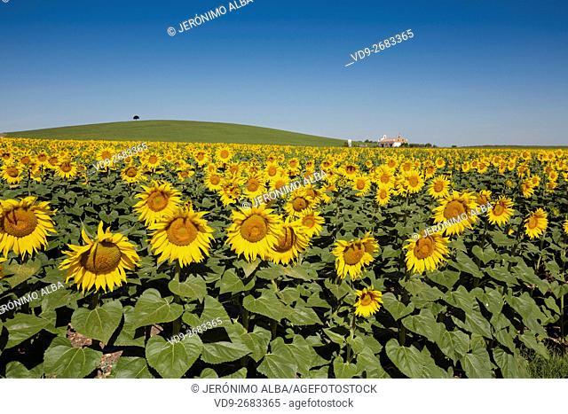 Helianthus annuus. Sunflower field Cordoba province, Andalusia, Spain, Europe
