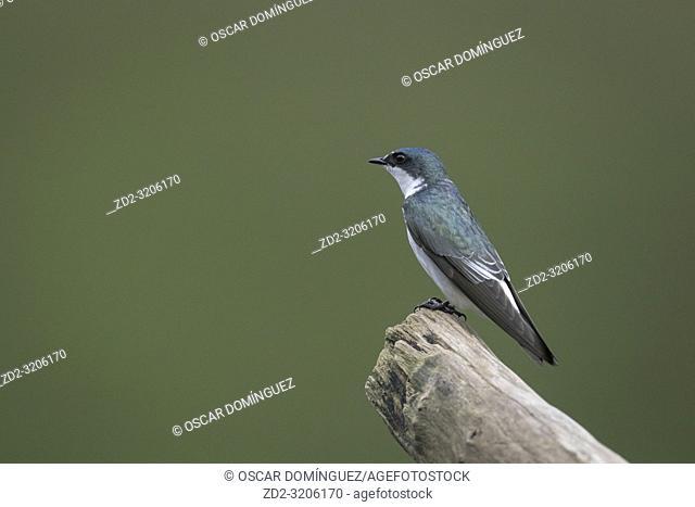 Mangrove Swallow (Tachycineta albilinea) perched on branch. Puerto Viejo river. Heredia province. Costa Rica