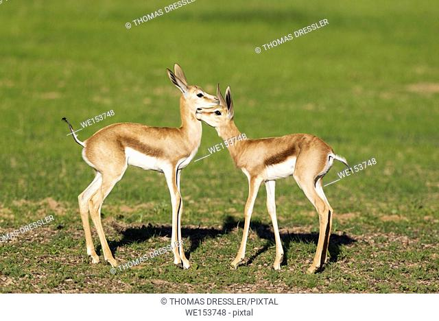 Springbok (Antidorcas marsupialis). Social contact between two newly born lambs. During the rainy season in green surroundings